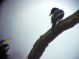 060321 o White-winged cuckoo-shrike Mt Kanloan.JPG