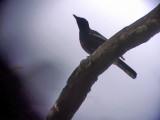 060321 r White-winged cuckoo-shrike Mt Kanloan.JPG