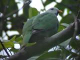 060323 h Black-chinned fruit-dove Rajah Sikatuna NP.JPG