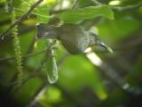 060323 l Black-crowned babbler Rajah Sikatuna NP.JPG