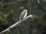 060325 a Grey-spotted flycatcher Mt Kitanglad.JPG
