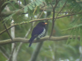 060325 oo Violet cuckoo Mt Kitanglad.JPG