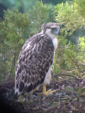 060326 a Great Phlilippine eagle Mt Kitanglad.JPG