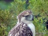 060326 bb Great Phlilippine eagle Mt Kitanglad.JPG