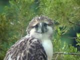 060326 d Great Phlilippine eagle Mt Kitanglad.JPG
