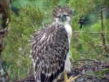 060326 ff Great Phlilippine eagle Mt Kitanglad.JPG