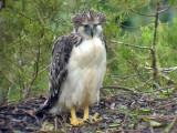 060326 hh Great Phlilippine eagle Mt Kitanglad.JPG