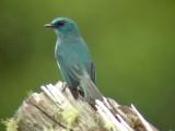 060327 h Mountain Verditer-flycather Mt Kitanglad.JPG