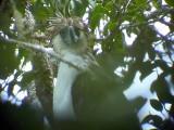 060327 nn Great Phlilippine eagle Mt Kitanglad.JPG