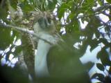 060327 o Great Phlilippine eagle Mt Kitanglad.JPG