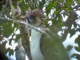 060327 q Great Phlilippine eagle Mt Kitanglad.JPG