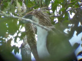 060327 qq Great Phlilippine eagle Mt Kitanglad.JPG