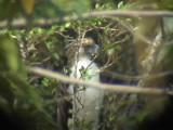 060327 uu Great Phlilippine eagle Mt Kitanglad.JPG