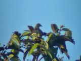 060329 bbb Pompadour green-pigeon Picop.JPG