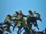 060329 c Pompadour green-pigeon Picop.JPG