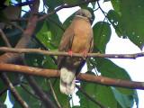 060329 ccc White-eared brown dove Picop.JPG