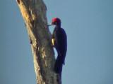 060329 ff White-bellied woodpecker Picop.JPG