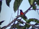 060329 hhhh Purple-throated sunbird Picop.JPG