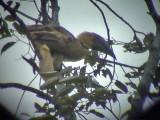 060329 l Rufous hornbill Picop.JPG
