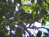 060329 nn Pompadour green-pigeon Picop.JPG