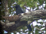 060329 nnnn Large-billed crow Picop.JPG