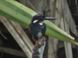 060329 q Silvery kingfisher Picop.JPG