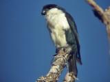060330 b Philippine falconet Picop.JPG