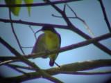 060330 h Metallic-winged sunbird Picop.JPG