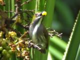 060330 kk Olive-backed flowerpecker Picop.JPG