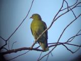 060331 b Pompadour green-pigeon Picop.JPG