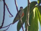 060331 kk Red-striped flowerpecker Picop.JPG