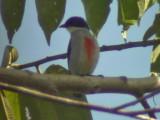 060331 l Red-striped flowerpecker Picop.JPG