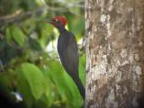 060331 m White-bellied woodpecker Picop.JPG