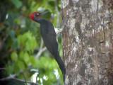 060331 mm White-bellied woodpecker Picop.JPG