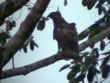 060331 nn Barred honeybuzzard.JPG