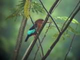 060401 c White-throated kingfisher Picop.JPG