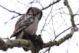 Hökuggla - Hawk Owl (Surnia ulula)