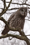 Lappuggla - Great grey owl ( Strix Nebulosa )