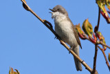 Ärtsångare - Lesser Whitethroat(Sylvia curruca)