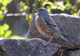 Alpjärnsparv - Alpine accentor ( Prunella collaris )