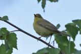 Polyglottsångare - Melodious Warbler (Hippolais polyglotta)