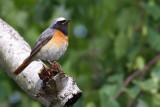 Rödstjärt - Redstart (Phoenicurus phoenicurus)
