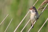 Kärrsångare - Marsh Warbler (Acrocephalus palustris)