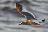 Tärnmås - Sabine's Gull (Xema sabini)