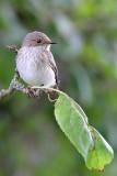 Grå flugsnappare - Spotted Flycatcher (Muscicapa striata)