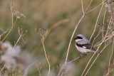 Svartpannad törnskata - Lesser Grey Shrike (Lanius minor)