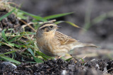 Svartstrupig järnsparv - Black-throated Accentor (Prunella atrogularis)