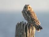 Jorduggla - Short-eared Owl (Asio flammeus)