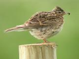 Sånglärka - Skylark (Alauda arvensis)