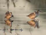 Svartsnäppa - Spotted Redshank (Tringa erythropus)